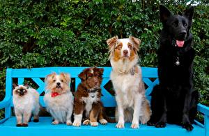 Hintergrundbilder Hunde Deutscher Schäferhund Bank (Möbel) Australian Shepherd