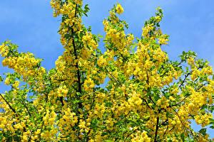Hintergrundbilder Blühende Bäume Ast Gelb Yellow acacia Blumen