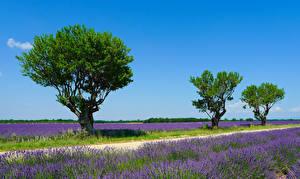 Hintergrundbilder Frankreich Acker Lavendel Bäume Valensole Natur