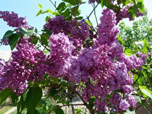 Hintergrundbilder Syringa Ast Blumen