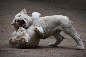 Bilder Löwe Jungtiere Zwei Weiß Schlägerei Tiere