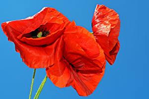 Hintergrundbilder Mohn Großansicht Farbigen hintergrund Rot Blumen