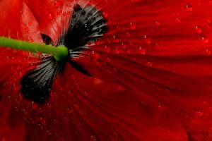 Bilder Mohn Makrofotografie Großansicht Rot Tropfen Blumen