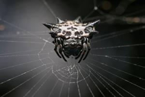 Hintergrundbilder Webspinnen Großansicht Spinnennetz Gasteracantha Tiere