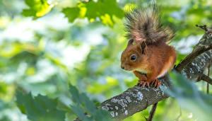 Hintergrundbilder Eichhörnchen Ast Tiere