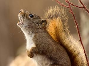 Hintergrundbilder Hörnchen Großansicht Schreien