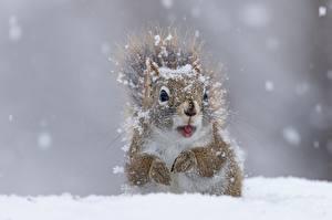 Hintergrundbilder Eichhörnchen Großansicht Schnee