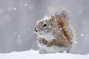 Fotos Hörnchen Großansicht Schnee