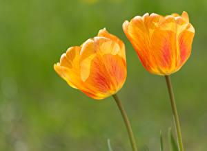 Hintergrundbilder Tulpen Großansicht Gelb 2 Blumen