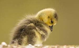 Fotos Vogel Hühner Hautnah Farbigen hintergrund
