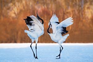 Wallpaper Birds Herons Two Dance animal