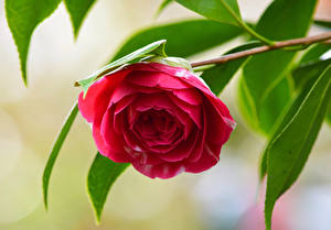 Wallpapers Closeup Camellia Branches Red Flowers