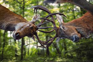 Hintergrundbilder Hirsche 2 Horn Schnauze Schlägerei Tiere