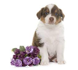 壁纸,,犬,澳大利亞牧羊犬,白色背景,坐,小狗,動物