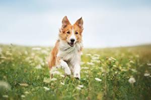 Fotos Hunde Border Collie Gras Lauf Tiere