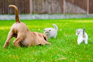 Images Dog Cat Kitty cat Dogue de Bordeaux Grass Three 3 Tail animal