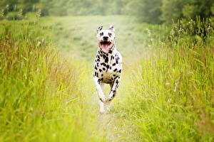 Fotos Hunde Lauf Dalmatiner Gras Tiere