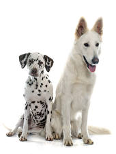 Images Dogs White background Two Dalmatian Shepherd Swiss Shepherd