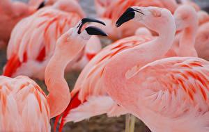 Bilder Flamingos Vogel Schnabel Rosa Farbe Tiere