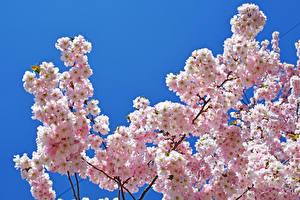 Fotos Blühende Bäume Frühling Farbigen hintergrund Ast Blumen