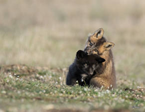 Image Foxes Cubs Two Black animal