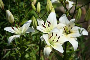Bilder Lilien Hautnah Weiß Knospe Blumen