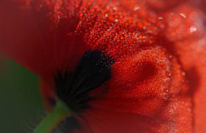 Fotos Makro Großansicht Mohn Tropfen Blumen
