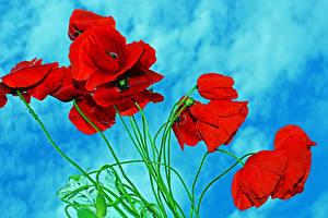 Bilder Mohn Großansicht Rot Blumen