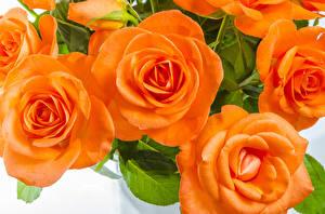 Wallpaper Rose Closeup Orange flower
