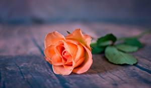 Pictures Roses Closeup Orange flower