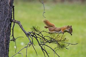 Bilder Hörnchen Sprung Ast