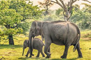 Hintergrundbilder Sri Lanka Parks Elefanten Babys Zwei Yala National Park ein Tier