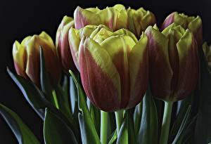 Hintergrundbilder Tulpen Nahaufnahme Schwarzer Hintergrund Blüte