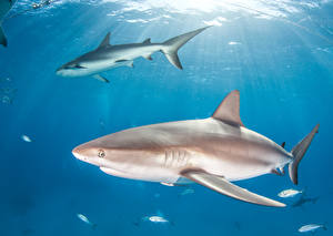 Images Underwater world Fish Sharks 2 animal