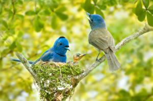 Fotos Vögel Ast Nest Zwei Black-naped monarch Tiere