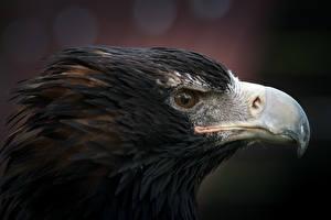 Images Birds Eagles Closeup Head Beak Animals