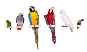 Fotos Vögel Papagei Eigentliche Aras Weißer hintergrund
