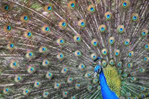 Bilder Vogel Pfau ein Tier