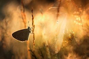 Bakgrunnsbilder Sommerfugler Morgen Edderkoppsilke Dyr
