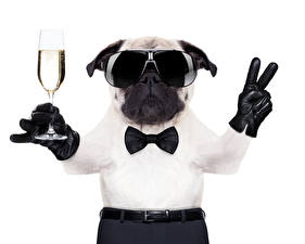 Wallpapers Dogs Sparkling wine Fingers White background Bulldog Stemware Glasses Bow tie Funny Animals