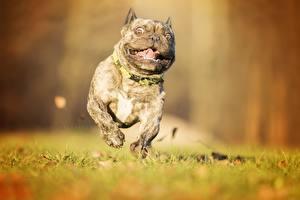 Bilder Hunde Französische Bulldogge Lauf Lustige Gras Tiere