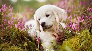 Pictures Dog Golden Retriever Puppy Grass Animals