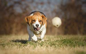 Pictures Dogs Running Ball Grass Beagle Animals