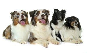 Fotos Hunde Weißer hintergrund Australian Shepherd Zunge Starren