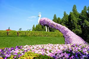 Fotos Dubai VAE Garten Petunien Pfauen Design Strauch Rasen Miracle Garden Natur