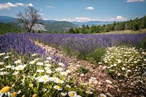 Hintergrundbilder Frankreich Acker Lavendel Kamillen Hügel Provence Natur