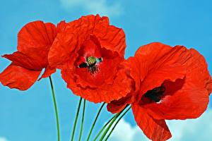 Fotos Mohn Großansicht Farbigen hintergrund Rot Blumen