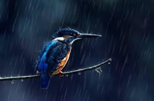 Hintergrundbilder Regen Vögel Eisvogel Ast