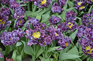Hintergrundbilder Tulpen Nahaufnahme Blüte