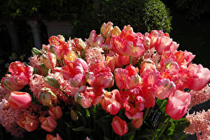 Bilder Tulpen Großansicht Rosa Farbe Blüte